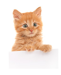 Kitten with a blank sheet of paper