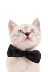 Cat with a bow tie at the neck