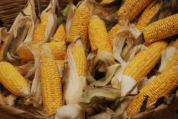 garden corn mısır
