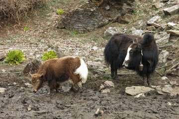 Yak mother with baby