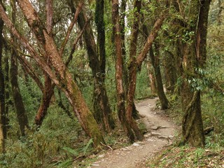Trekking trail trough a beautiful rhododendron forest