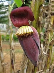 Banana flower in Nepal