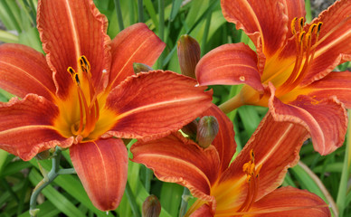 view of blooming lilies