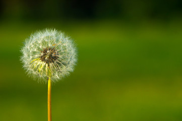 background single white fluffy dandelion on a background of gras