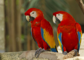 Pair of Scarlet Macaw birds
