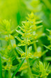 Bedstraw (Cruciata glabra) on green background
