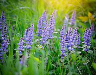 Spring meadow (Ajuga reptans), natural background