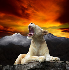 young white lion,lioness lying and roar on mountain cliff