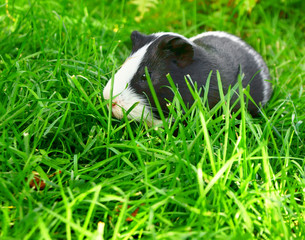 Guinea pig in green grass.