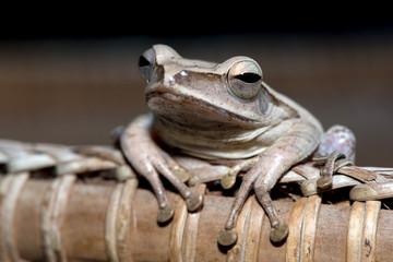Tropical frog on wood.
