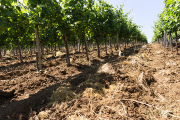 Vineyard rows in sunny day