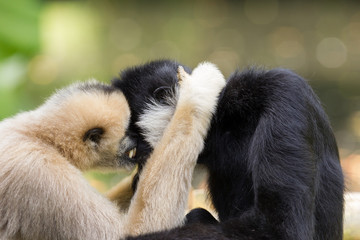 Northern white-cheeked gibbons  cuddling