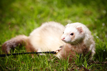 Ferret male sitting in grass