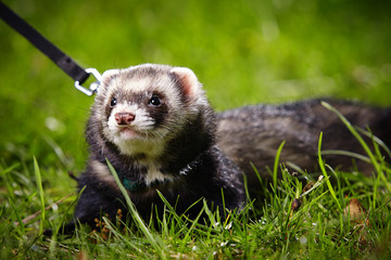 Ferret on leash in spring park