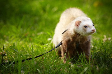 Male ferret in grass