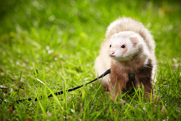 Male ferret on leash