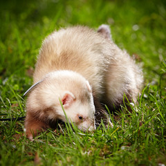 Ferret on leash posing and enjoying their walk