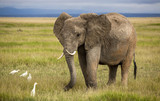 Elephant with curved tusks and egrets poster