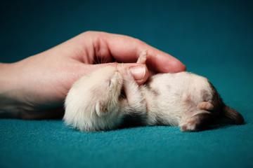 Sleeping little ferret