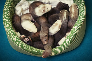 Ferret babies in bed