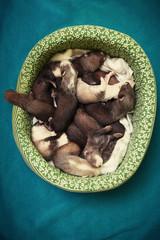 Nice 14 ferret babies