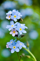 Forget-me-not. Flower