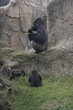 silverback and baby