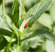 ladybug on grass in nature. macro