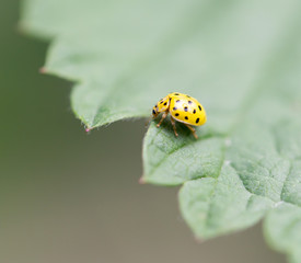 yellow ladybird on nature. macro