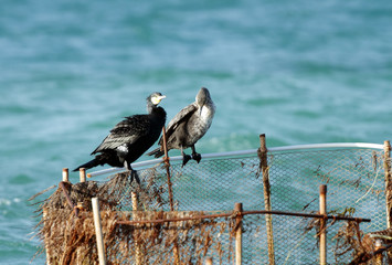 A pair of beautiful cormorants