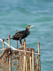 Cormorants perched on the fishing net