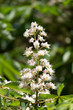 flowers of chestnut tree