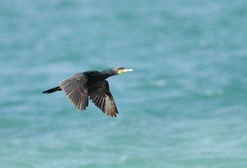 A beautiful cormorant flying