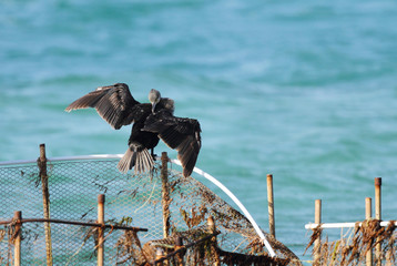 Cormorant spreading and drying its wings