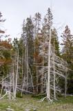 alberi bruciati dai Geyser in Yellowstone in Wyoming poster