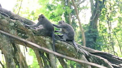 Monkeys on tree grooming in Ubud Monkey Forest