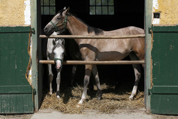 Arabian racing horses standing in the barn