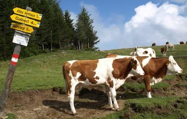 kühe kennen nicht den weg