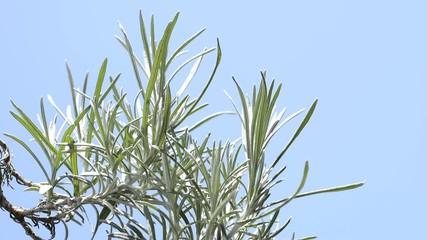 青空をバックにカレープラントの葉