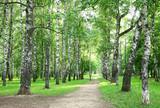Evening birch park