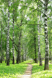 Pathway in the evening birch park