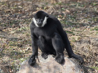 Gibbon sitting on the rock