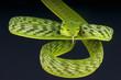 Vine snake / Ahaetulla prasina