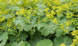Silvery dewdrops sparkling on velvet leaves of Lady's Mantle