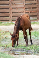 brown horse grazing at farm