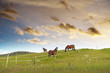 canvas print picture - Grazing horses