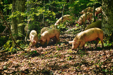 Italian Pigs