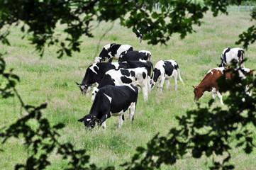 Milchkühe - Landwirtschaft in NRW