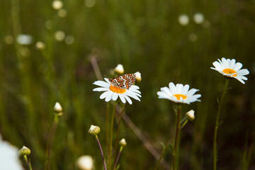 butterfly sits on a camomile