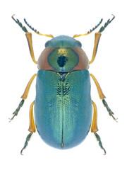 Beetle Cheilotoma erythrostoma